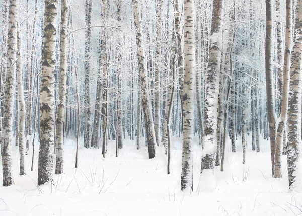 Winter Birch Woods